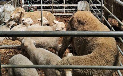 Lewendehawe-ekspo's en -skoue biosekuriteit protokol